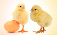 Комбикорм яичных пород СТАРТ