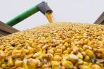 Кукуруза фуражная, ГОСТ