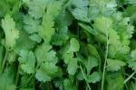 Кинза зеленая