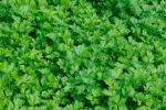 Петрушка зеленая